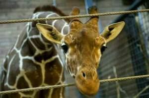 Giraffe-Marius